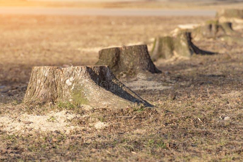 Una fila dei ceppi, alberi segati nel parco in primavera fotografia stock