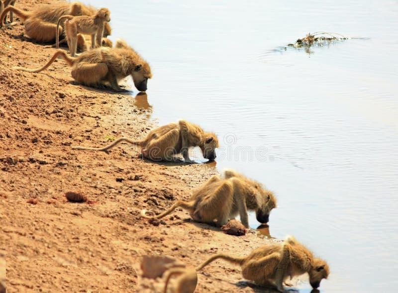 Una fila del babbuino di chacma con le teste giù che bevono dal fiume di Luangwa nello Zambia fotografia stock libera da diritti