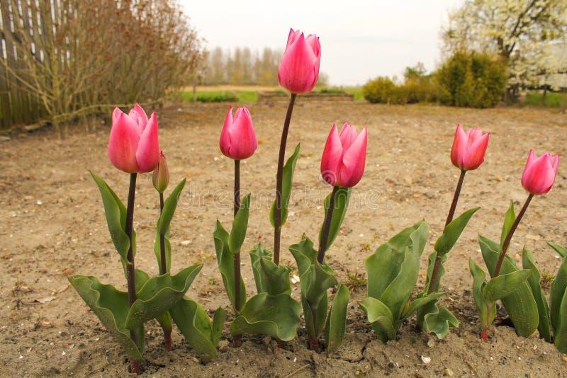 Una fila del primer rosado de los tulipanes en el jardín en primavera imagen de archivo
