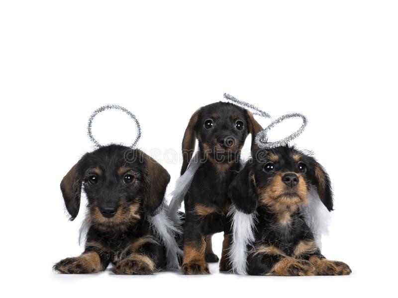 Una fila di tre neri con i mini cuccioli del cane del bassotto tedesco del wirehair adorabile marrone, isolata su bianco immagine stock