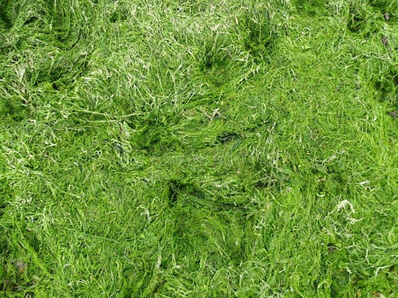 Una fine su dell'erba viva del mare verde fotografie stock libere da diritti