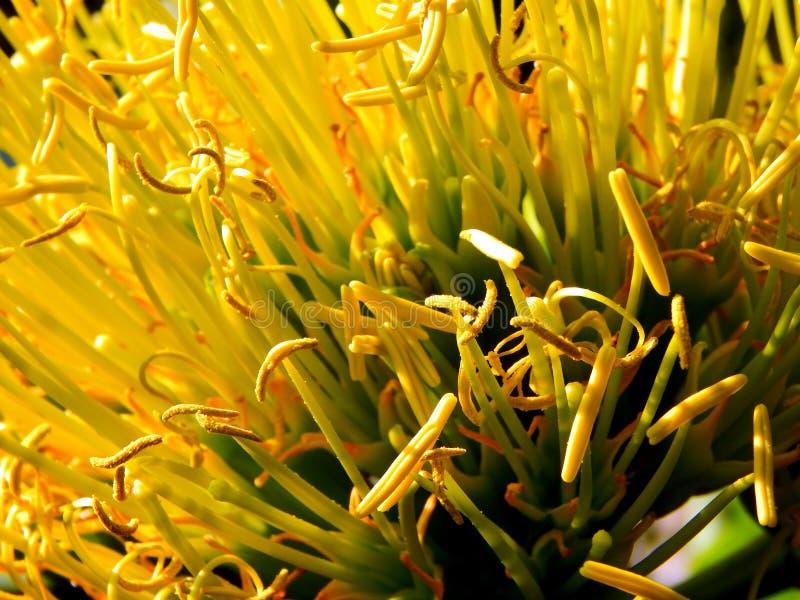 Una fine su dell'staymen e marchio di infamia dei fiori fotografia stock libera da diritti