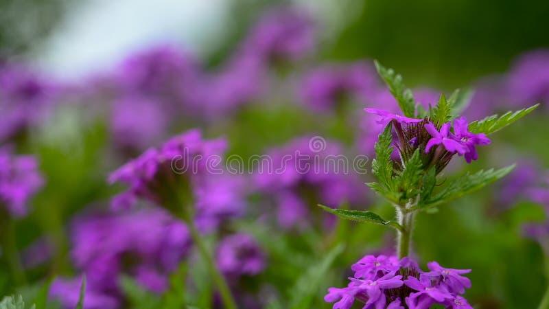 Una fine su di alcuni wildflowers porpora con grande profondità di campo fotografia stock