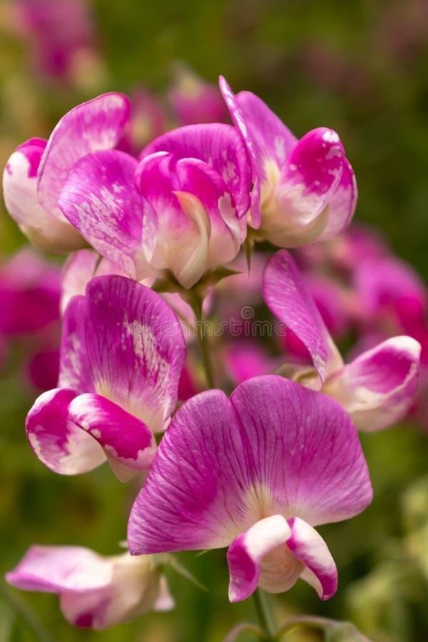 Una fine su di bei e fiori porpora e bianchi delicati del pisello dolce fotografia stock