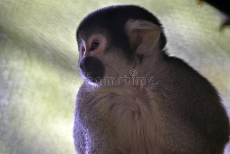 Una fine su di una scimmia di ragno immagini stock libere da diritti