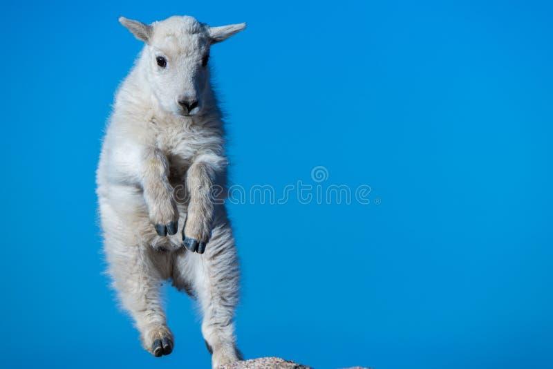 Una fine su di un bambino dello stambecco del bambino che salta sulle rocce fotografia stock libera da diritti