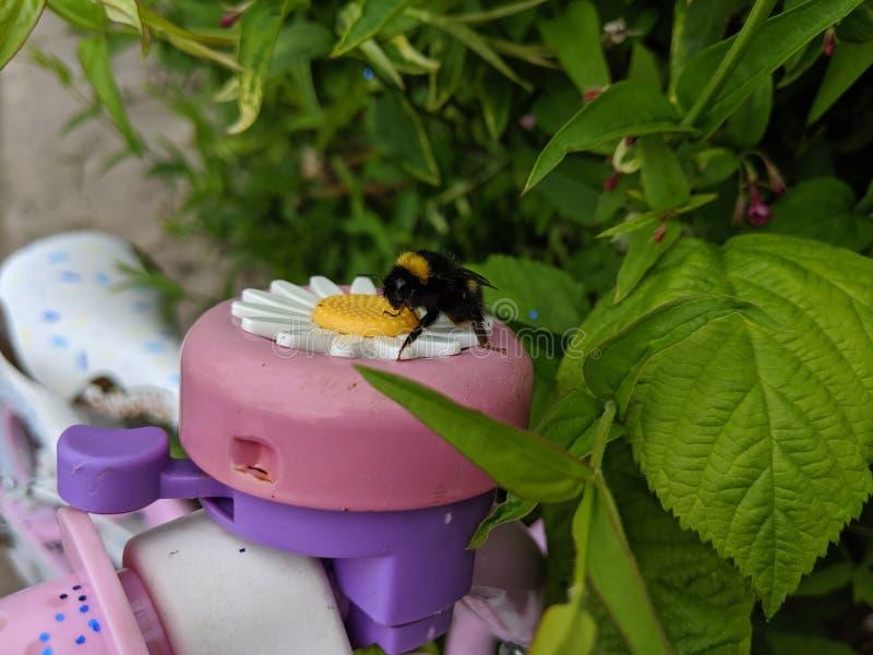 Una fine su di un bombo che si siede su una campana della bici del fiore della margherita della presa fotografia stock libera da diritti