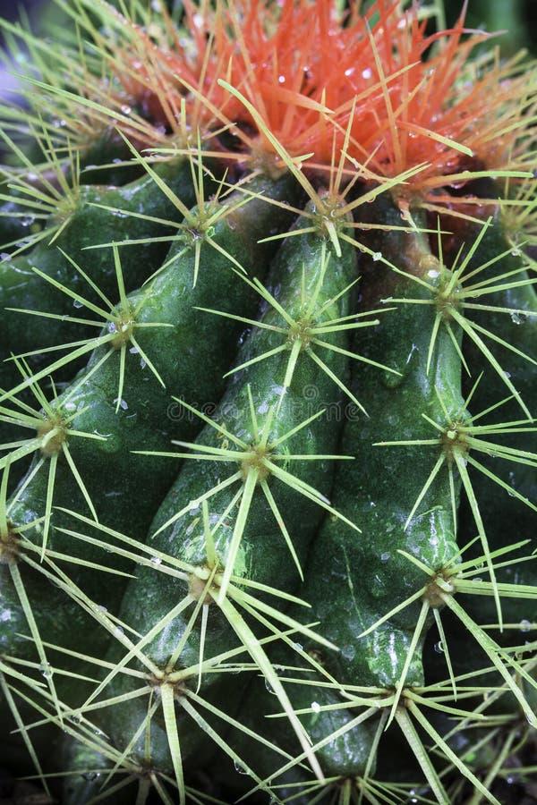 Cactus fotografie stock libere da diritti