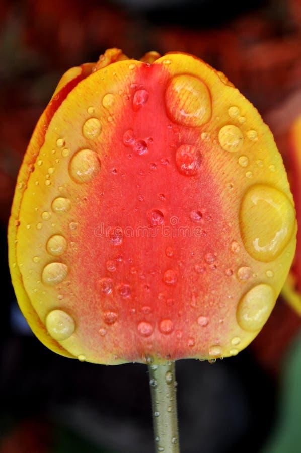 Una fine su di una testa arancio rossa gialla del tulipano con le gocce di pioggia e di una rugiada sui petali fotografia stock libera da diritti
