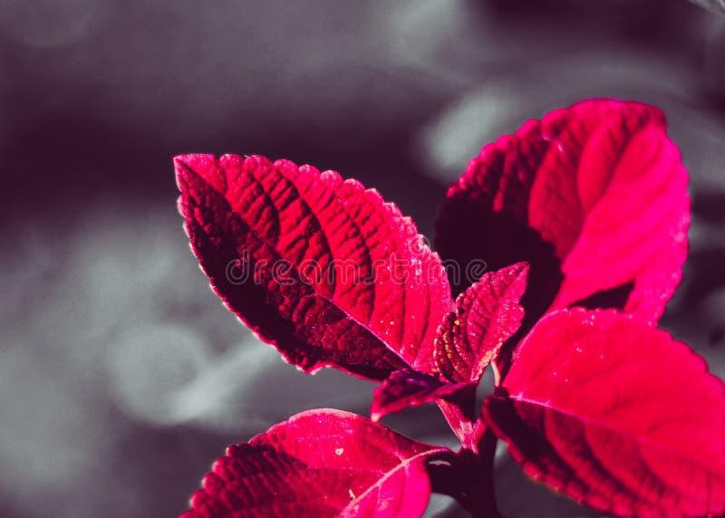Una fine su fotografia delle foglie colorate rosse con il fondo della sfuocatura ad un parco fotografia stock libera da diritti
