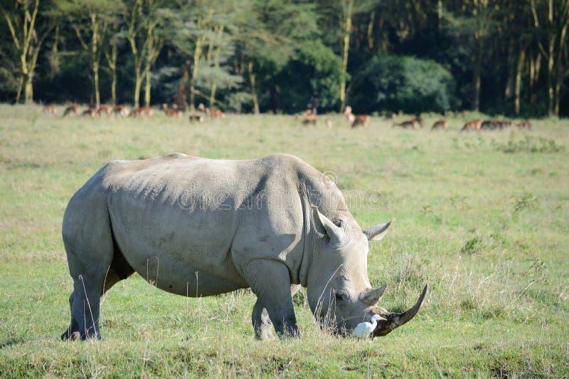 Una fine sulla foto di un rinoceronte/di un fronte bianco pericoloso, del corno ed occhio del rinoceronte La Sudafrica fotografia stock