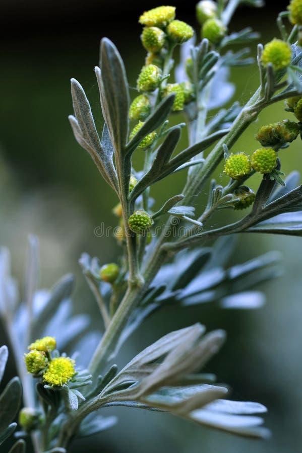 Una fine sulla vista della pianta dell'erba dell'assenzio romano fotografia stock