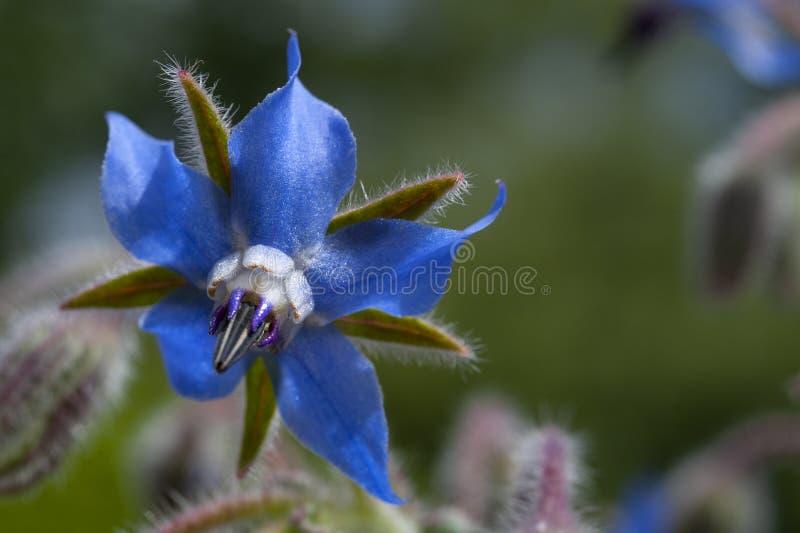 Una fine sulla vista di un borago officinalis, o borragine, fiore fotografie stock libere da diritti