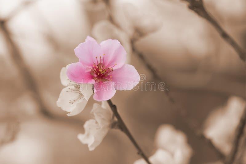 Una fioritura del fiore della nettarina di colore fotografie stock