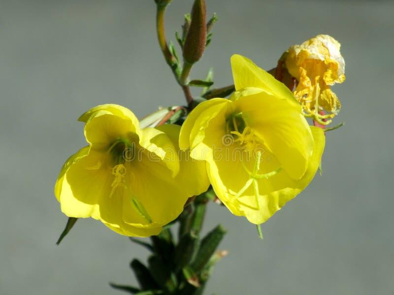 una flor amarilla fotografía de archivo libre de regalías