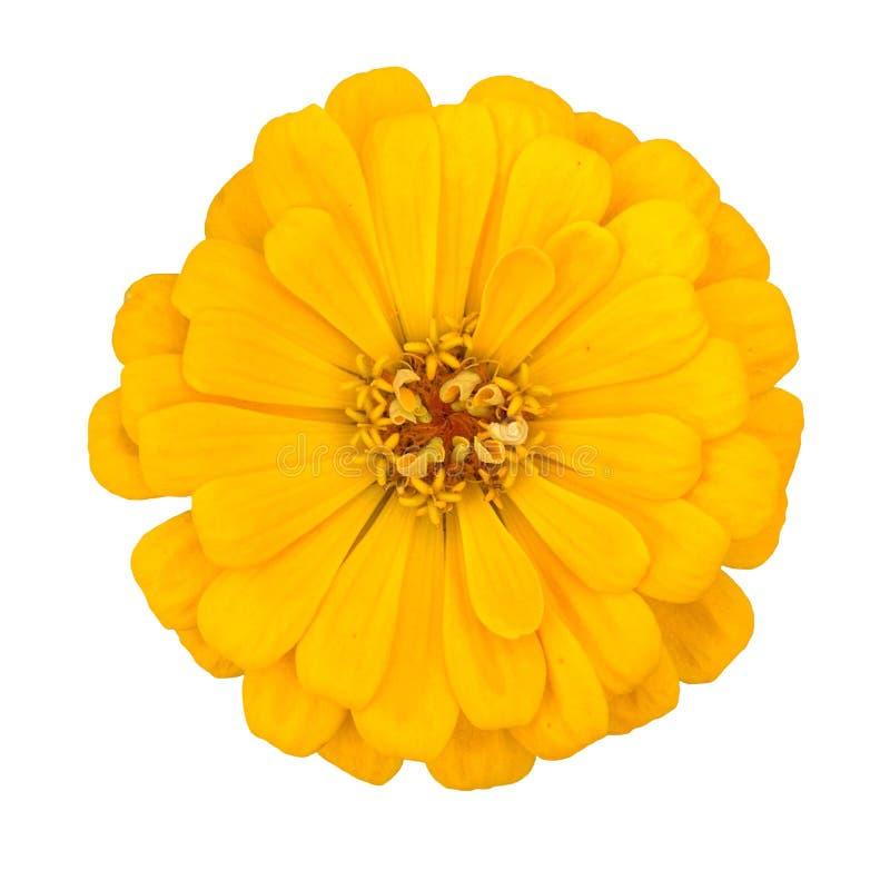 Una flor amarilla aislada de la cinnia foto de archivo