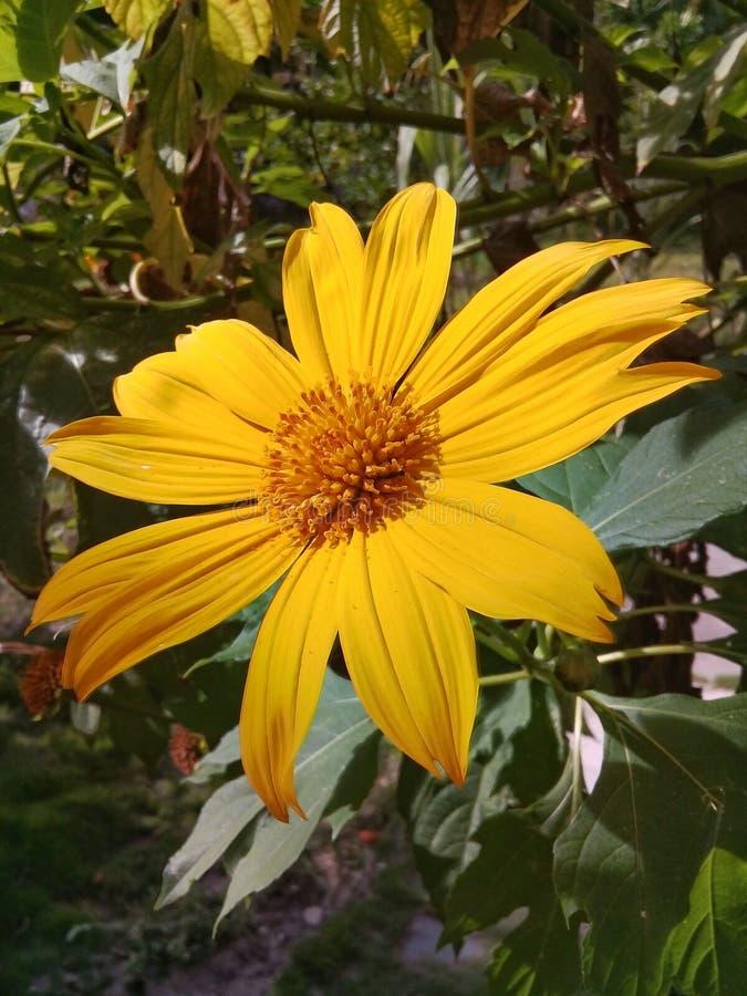 Una flor amarilla hermosa de la margarita en el jard?n foto de archivo