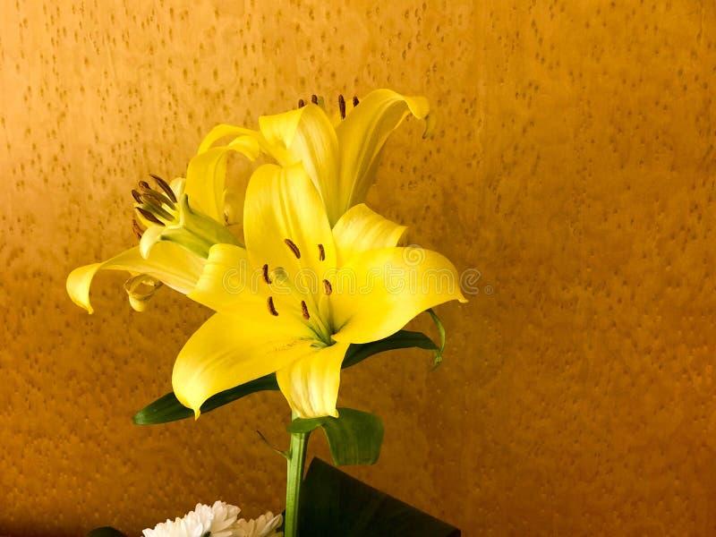 Una flor amarilla hermosa del lirio con los pétalos y los brotes grandes, un tronco en un fondo manchado marrón imagenes de archivo
