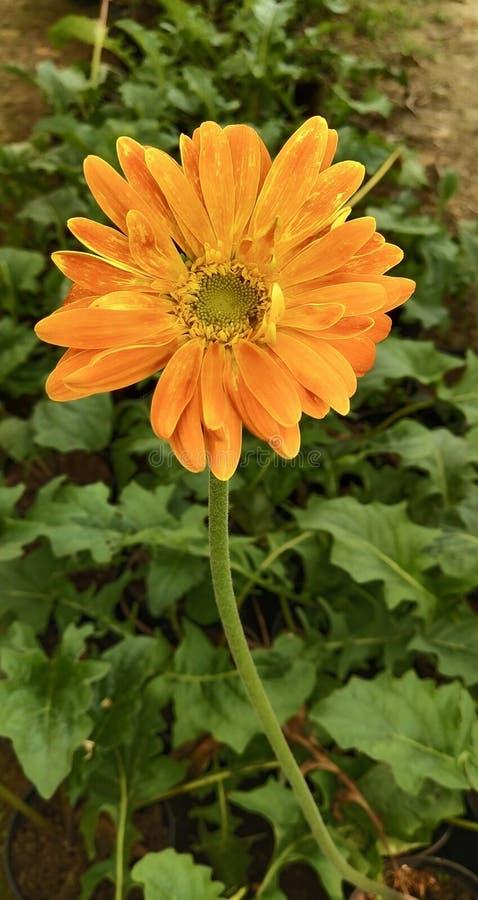 Una flor anaranjada del flor fotografía de archivo
