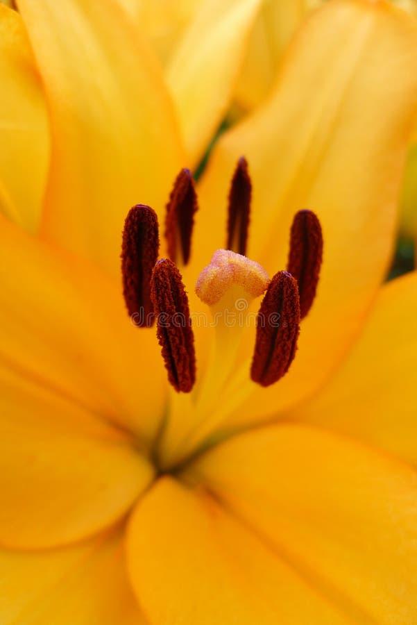 Una flor anaranjada del lirio imagen de archivo libre de regalías