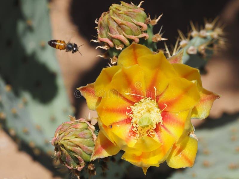 Una flor anaranjada y amarilla del cactus del higo chumbo con los brotes inusuales imagen de archivo libre de regalías