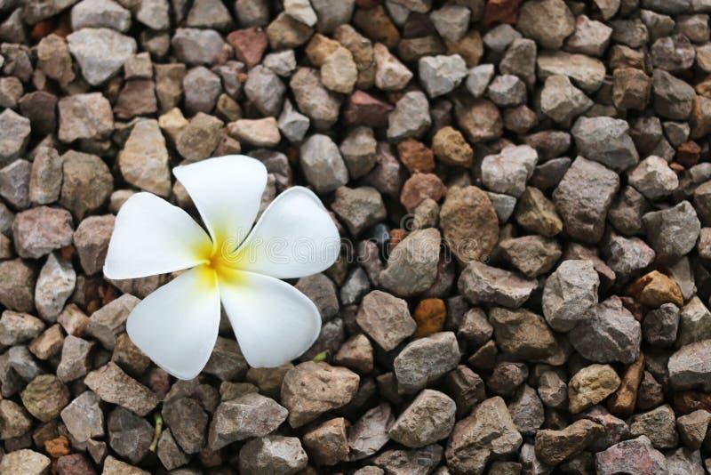Una flor blanca del plumeria fotografía de archivo