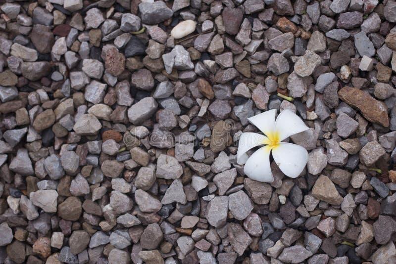 Una flor blanca del plumeria en piso de las rocas fotografía de archivo