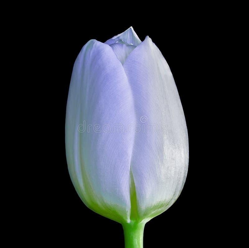 Una flor blanca del tulipán aislada en un fondo negro Primer Brote de flor en un tronco verde fotografía de archivo libre de regalías
