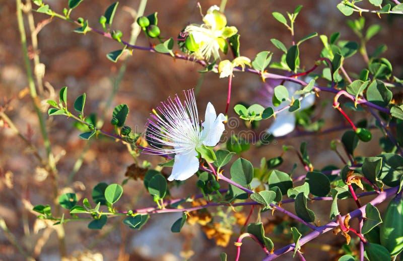 Una flor blanca en un arbusto imagenes de archivo