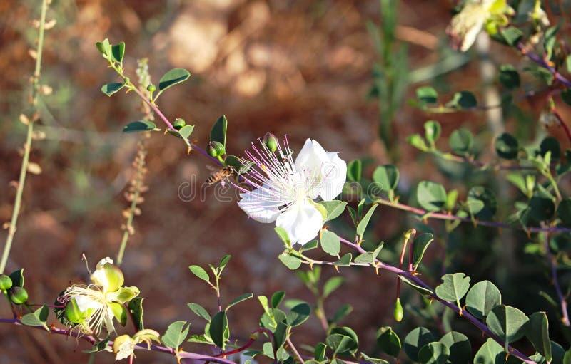 Una flor blanca en un arbusto imagen de archivo