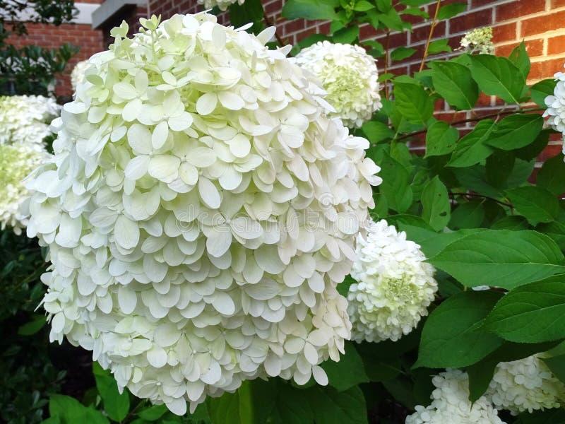 Una flor blanca grande con los pétalos delicados imagen de archivo