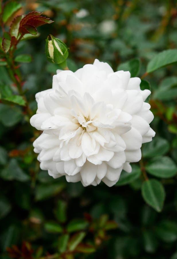 Una flor blanca magnífica del camelia en la plena floración foto de archivo