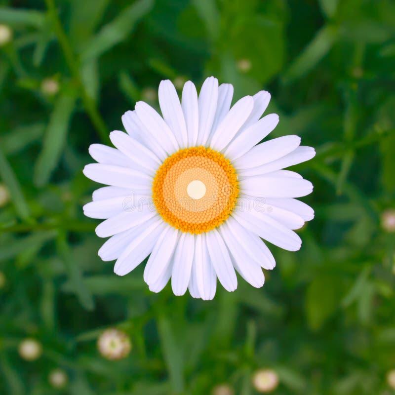 Una flor brillante fresca hermosa de la manzanilla encima de un fondo floral de la hierba verde Dise?o foto de archivo libre de regalías
