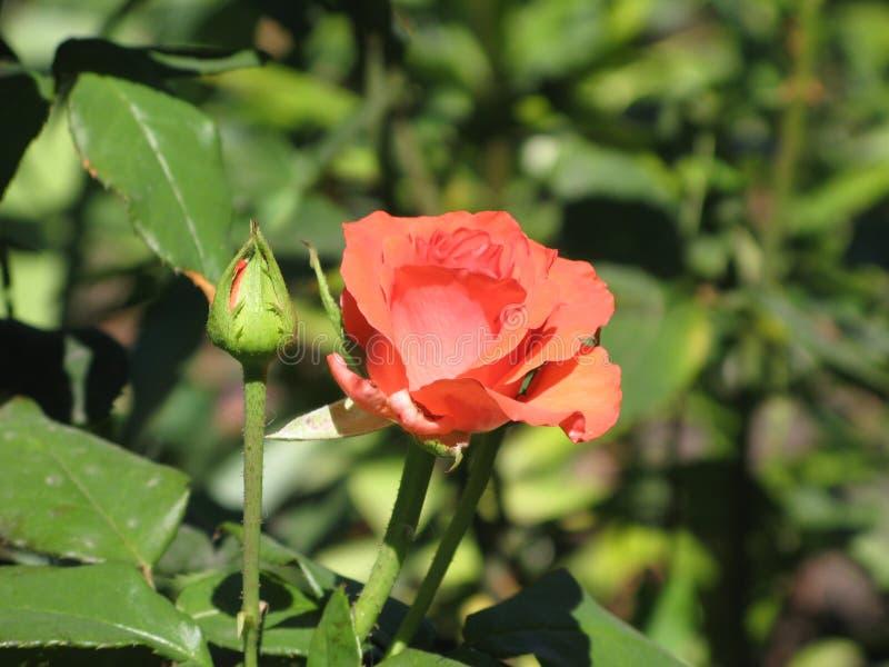 Una Flor Color De Rosa De La Pequeña Naranja Foto de archivo ...