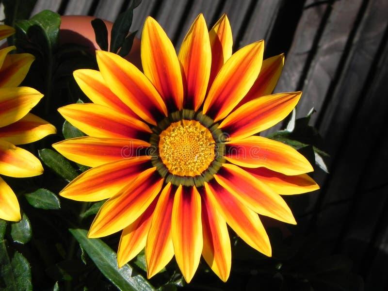 Una flor colorida en el jardín fotografía de archivo