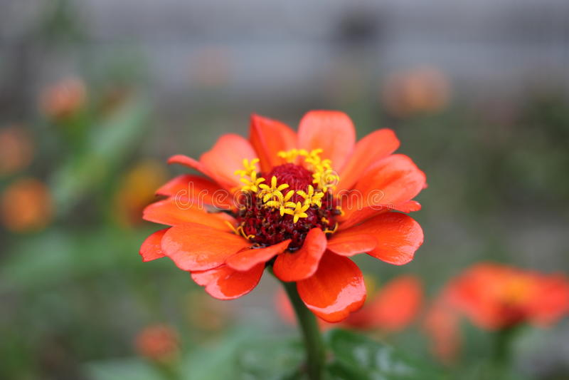 Una flor de Costa Rica fotos de archivo