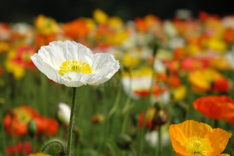 Una flor de la amapola blanca imagen de archivo