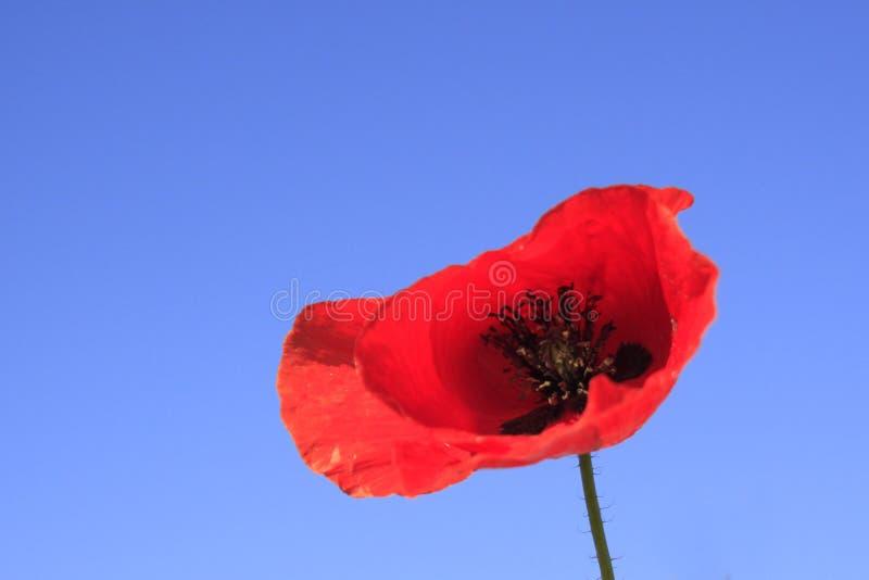Una flor de la amapola contra el cielo azul fotos de archivo