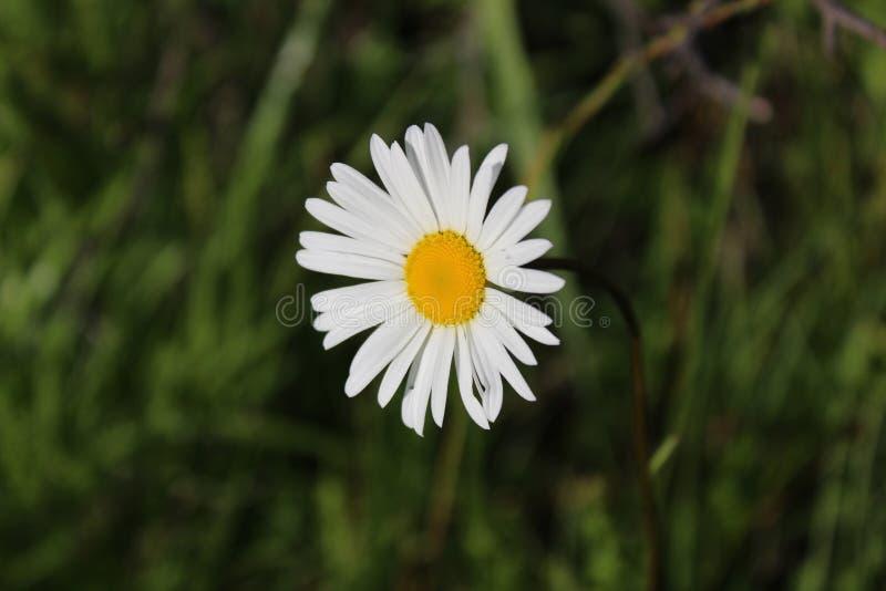 Una flor de la margarita fotografió el primer imagenes de archivo