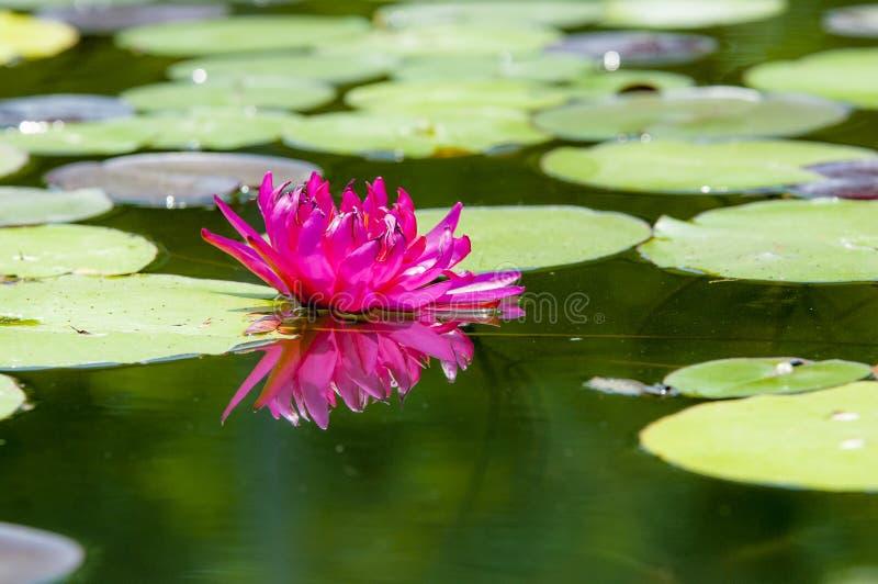 Una flor de loto floreciente fotografía de archivo
