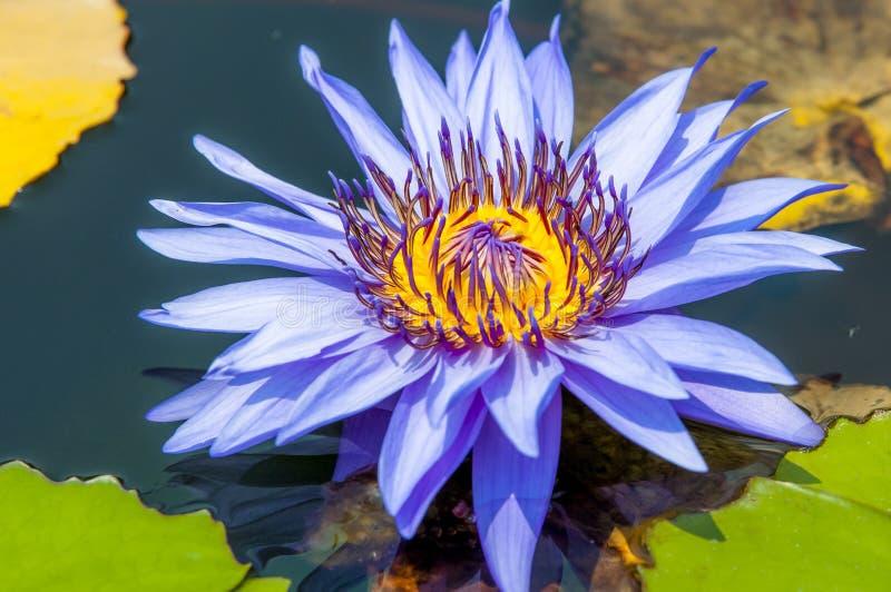 Una flor de loto floreciente foto de archivo libre de regalías