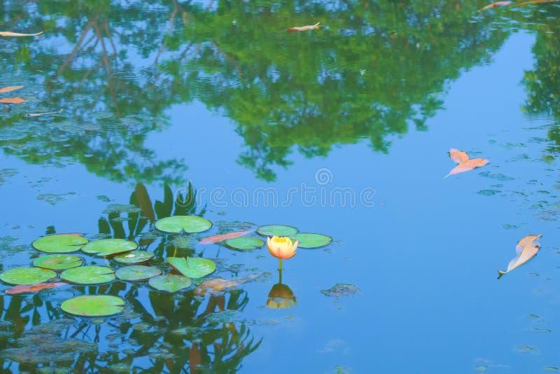Una flor de loto hermosa, perfecta, ligera del melocotón en la plena floración, en una charca alga-montada en un parque tailandés foto de archivo libre de regalías