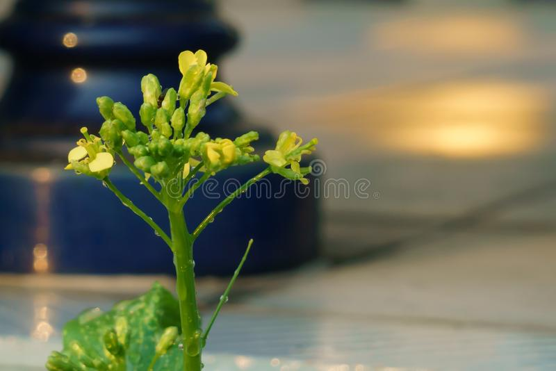 Una flor de pak falso choi, col floreciente china o brassica camprestris L Chinensis foto de archivo