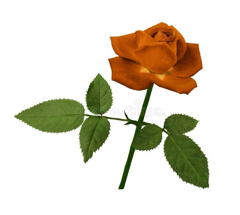 Una Flor De Una Rosa Naranja-roja En Un Tronco Verde Con Las Hojas ...