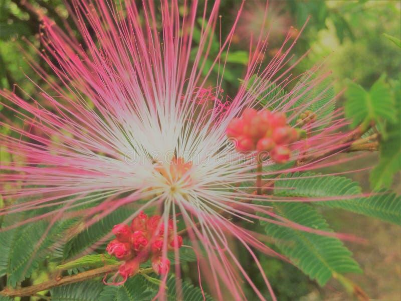 Una flor del campo del color rosado intenso que llama la atención por la pendiente de colores y de la luminosidad foto de archivo libre de regalías