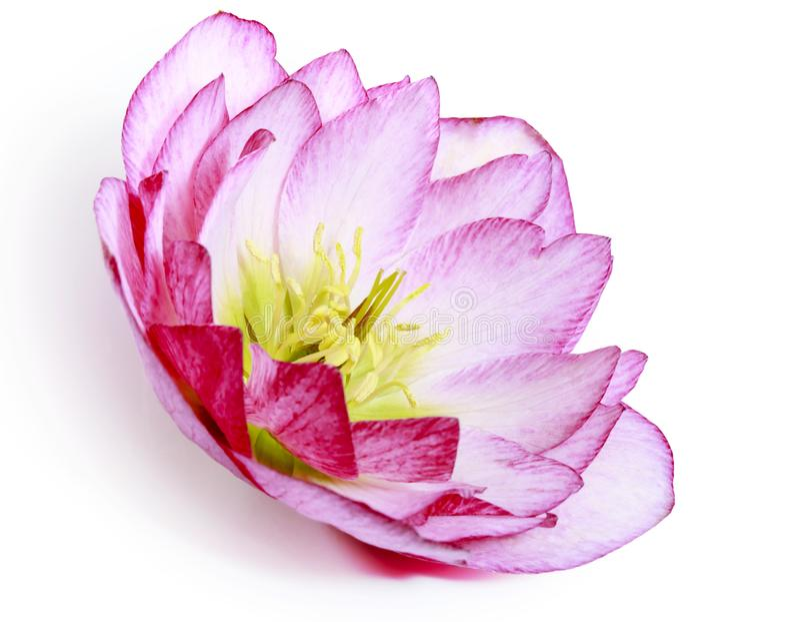 Una flor del hellebore rosado y blanco u orientalis rosados y blancos del helleborus aislados en blanco imagenes de archivo