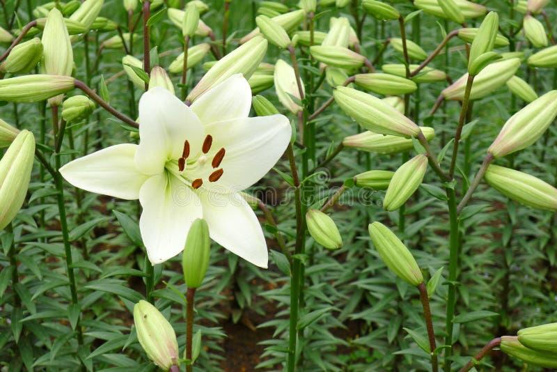 Una flor del lirio blanco foto de archivo libre de regalías