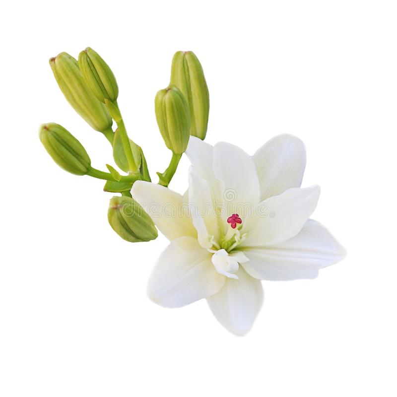 Una flor del lirio blanco con los lanzamientos jovenes verdes en el fondo blanco fotos de archivo