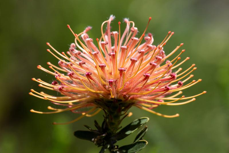 Una flor del protea fotografió en Cape Town, Suráfrica imagen de archivo