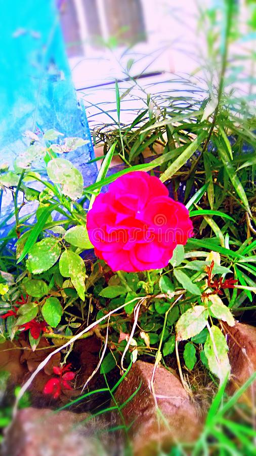 Una flor fresca rosada oscura fotografía de archivo